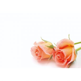 Rose Peach (Pack of 50)