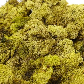 Finland Moss in Olive (Pack of 500g)